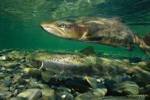 sea-salmon-wisdom